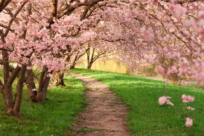 Pink Cherry Blossom Wall Mural Floral Trees Wallpaper Living Room