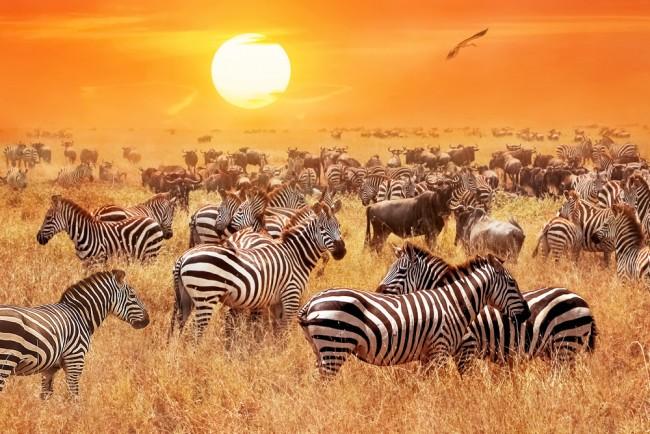 Zebra Safari Sunset Wallpaper Wall Mural