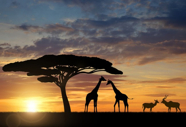 Giraffen-Sonnenuntergang Fototapete Afrikanisches Tier Tapete ...