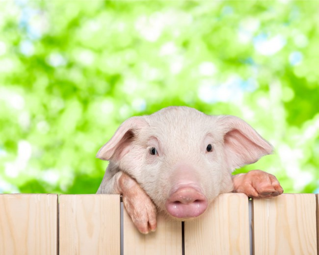 Piglet Pig Papier Peint Photo Animaux De La Ferme Papier Peint Salle