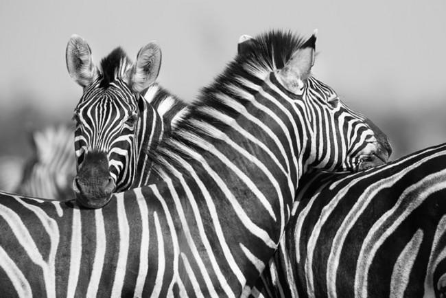 Noir Peinture Murale Blanche Zebra Animal Papier Peint Chambre
