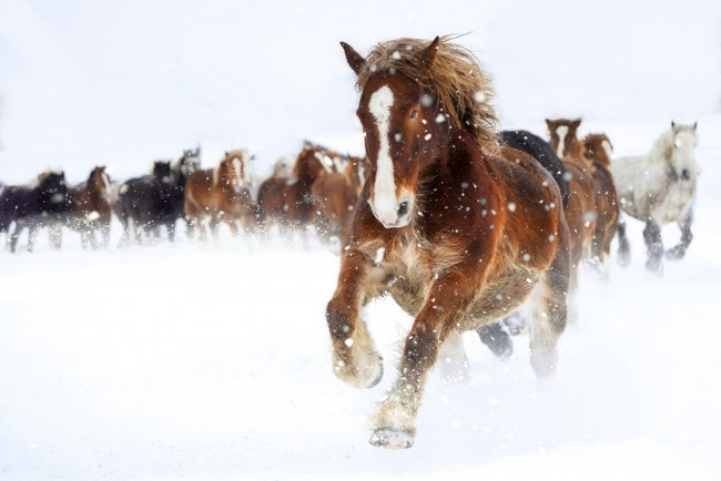 Galloping Horse Winter Snow Wallpaper Wall Mural