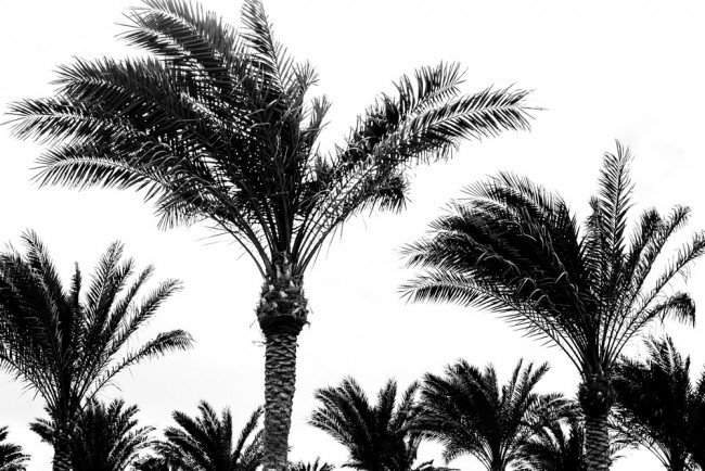 Black White Palm Trees Wallpaper Wall Mural