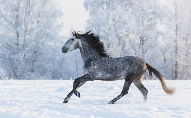 Beautiful Grey Horse In Winter Forest Wallpaper Wall Mural