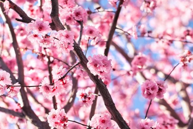 Carta Da Parati Fiori Di Ciliegio : Albero di fiori rosa fotomurali fiore di ciliegio carta da parati