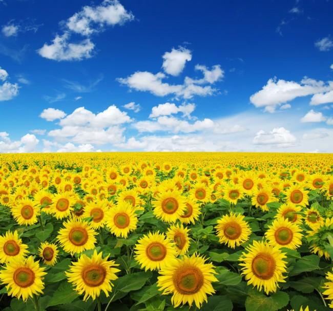 Giallo Girasoli Fotomurali Paesaggio floreale Carta Da Parati Vita Foto  Decorazione domestica
