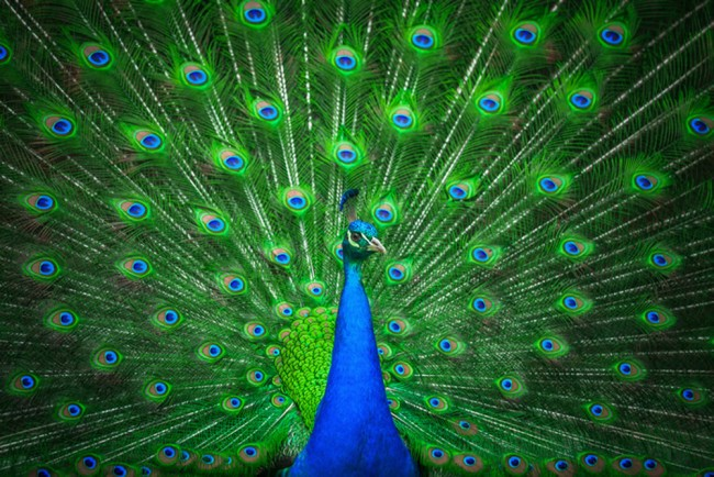 Peacock Wall Mural Blue Green Feather Wallpaper Bedroom Photo Home Decor